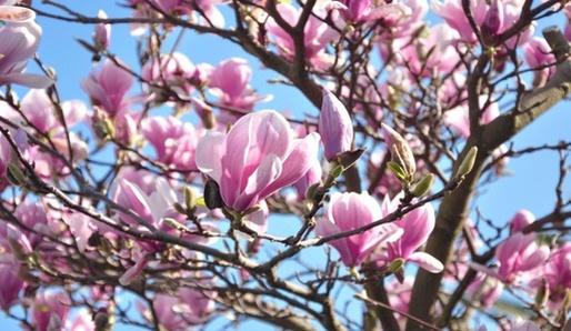 Magnolie - Magnalia officinalis