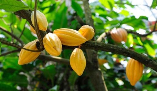 Cacao - pokrm bohů
