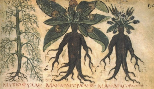 Mandragora - magická rostlina - archív.